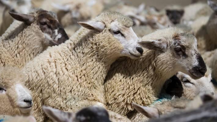 Good Lift In Prime Lamb Market At Coalgate Stuffconz