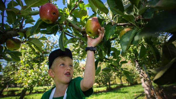 Reuben Smit, 6, picks an apple.