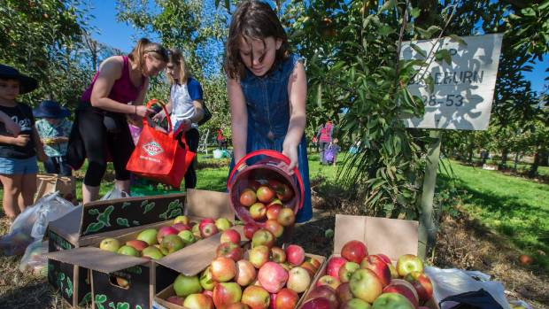 Olivia Knowlton,10, pours a bucket of apples.