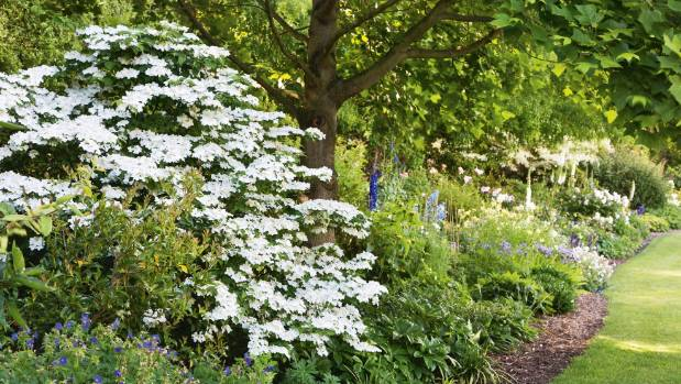 Gardening guru lynda hallinan on nzs most lovable shrubs stuff viburnum plicatum pink beauty looks perfectly at home amid perennials mightylinksfo