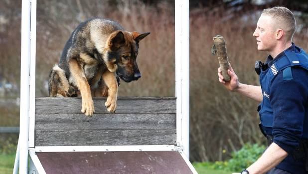 Police dog handler Constable Josh Robertson and Gazza in a training routine in 2013, when the K9 recruit was barely a ...