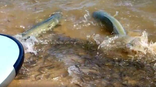 A large run of salmon turned a quiet Perth river into turmoil over the weekend.
