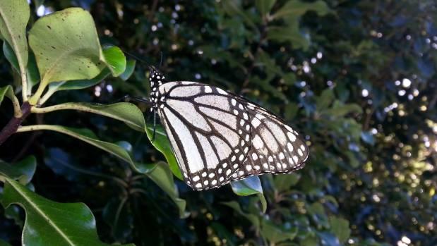 Albino butterfly