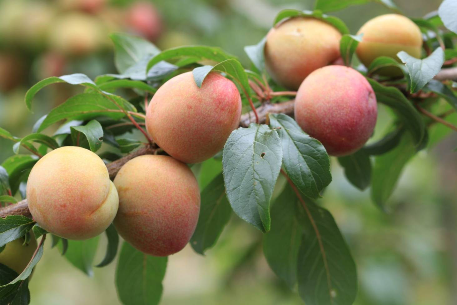 How And When To Prune Peach Nectarine Apricot Plum Trees Stuff Co Nz