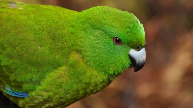 The Antipodes Island parakeet, one of two parakeet species that live only on the island.