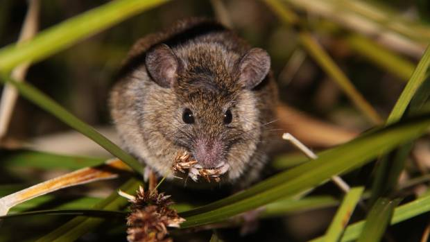 This winter the Department of Conservation will conduct a poison operation on Antipodes Island in an effort to rid the ...