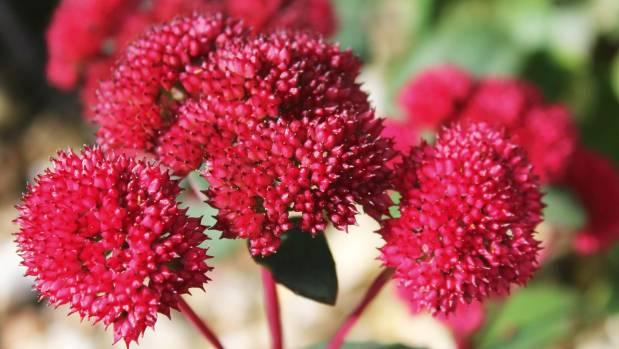 Drought-tolerant and beloved by bees, sedums are stalwarts of the autumn garden.