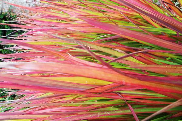 Japanese bloodgrass (Imperata cylindrica 'Rubra') is a stunning plant well before autumn arrives, for red is its natural ...