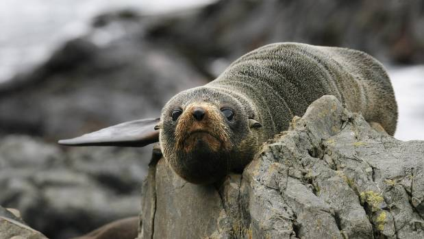 A fur seal pup at Sinclair Head near Red Rocks on the South Coast.