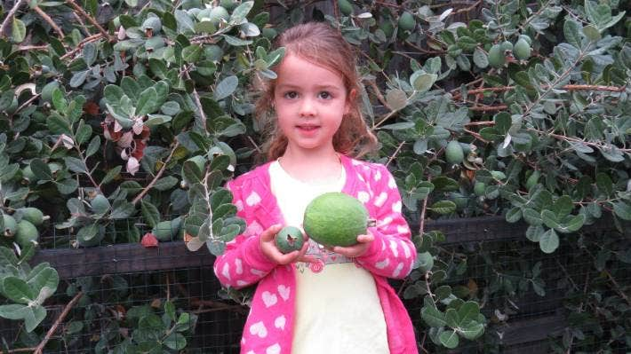 Four Year Old Olivia Nelson And Family Grow Giant Feijoa Stuff Co Nz