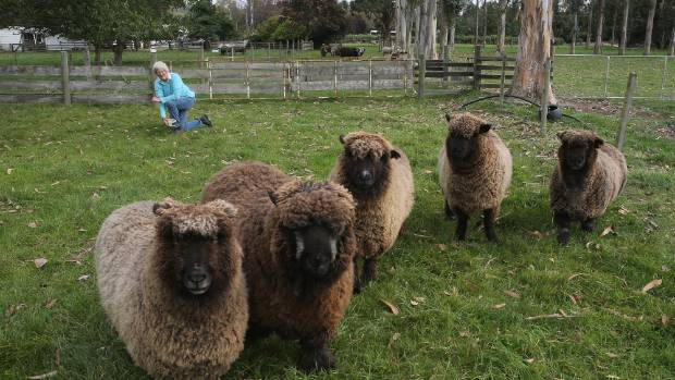 Phillippa Sanders with some of her black and coloured sheep. Phillippa is the new president of the Black and Coloured ...