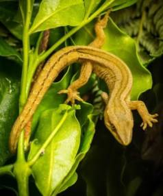 A golden gecko was found at a house near Omata School last week, however students at the school are yet to find one in ...