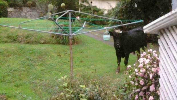 Moo's that? Local resident Pam Protheroe saw this bull in her garden.