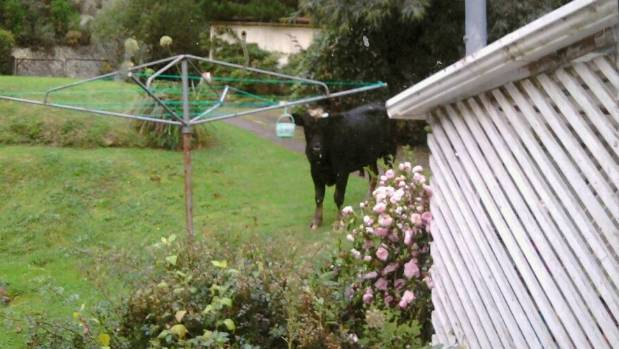 Blue Mountains Rd resident Pam Protheroe saw this bull in her  garden, nosing at her peg basket, after a  stock truck ...