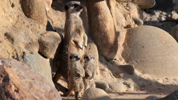 Two meerkat pups learning about sentry duty in Wellington Zoo.