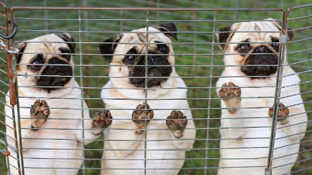 The NZKC says potential puppy parents should ask breeders about the health and longevity in their lines.