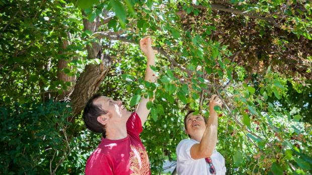 Caleb Phillips, left, and Jeff Wanner pick mulberries from trees in Boulder, Colorado.