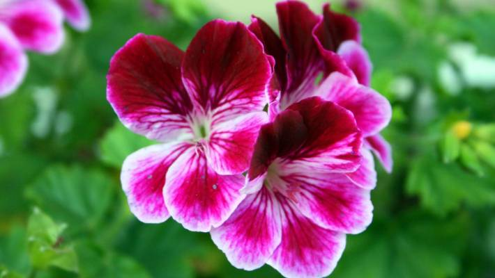 The most dramatic pink and purple flowers for your spring garden geraniums are a useful backdrop for the show stoppers of spring mightylinksfo