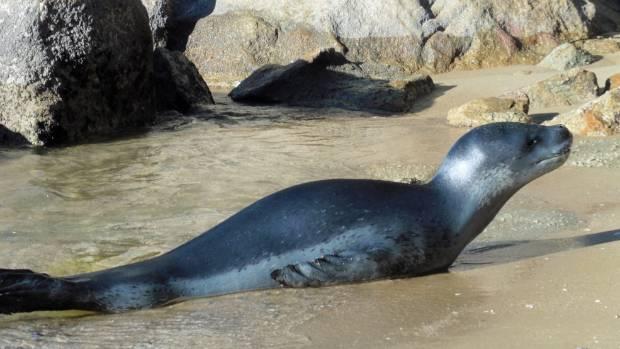 A leopard seal at Breakers Bay in Kaiteriteri.