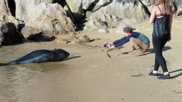A tourist takes a photo of  leopard seal at Breaker Bay near Kaiteriteri.