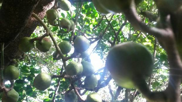 Kohekohe tree fruits.