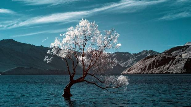 Splendid in Infrared. Photographer Tony Bridge used a modified Nikon D80 to capture Wanaka's famous willow tree in a ...