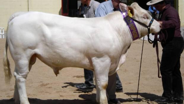 Champion bull Wairoa David demonstrates the charolais' structural soundness.