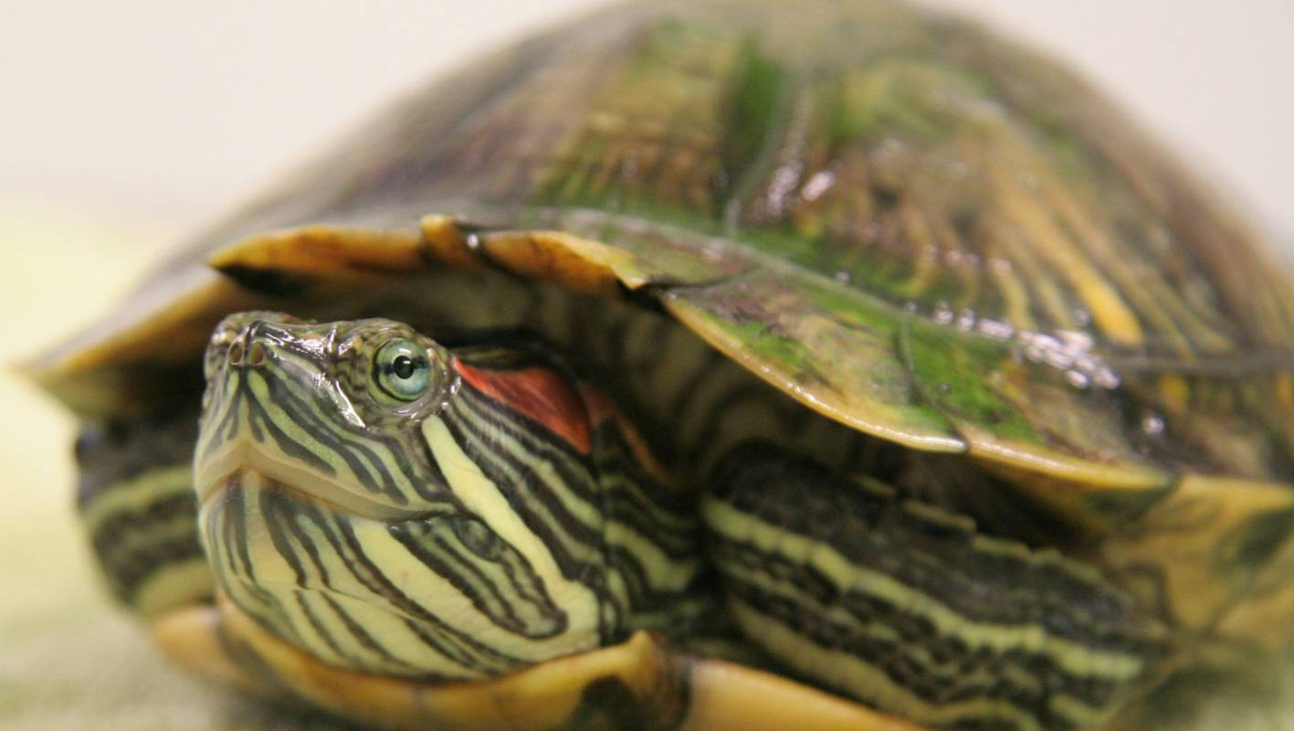 Red-eared slider turtles may be causing damage to ...