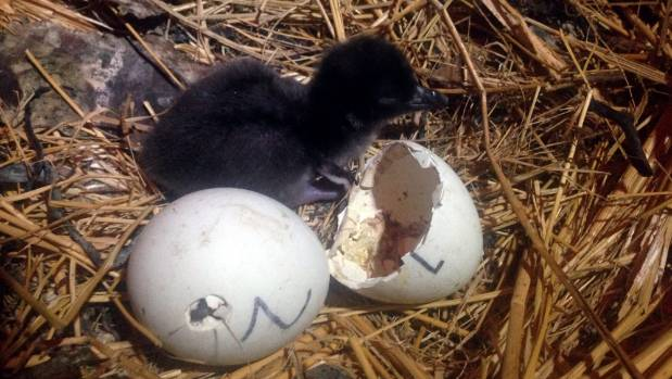 Penguin chick hatching - photo#4