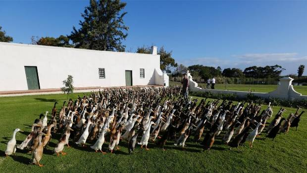 The flock was created in 1983, and there are more than 1000 ducks in it.