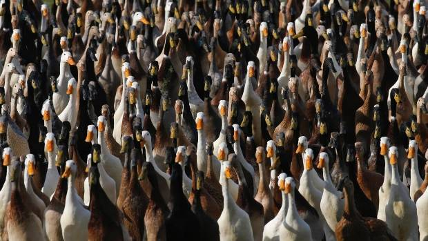 The Duck Squad: Indian runner ducks patrol the vines for white snails and other pests than can ruin a good crop.