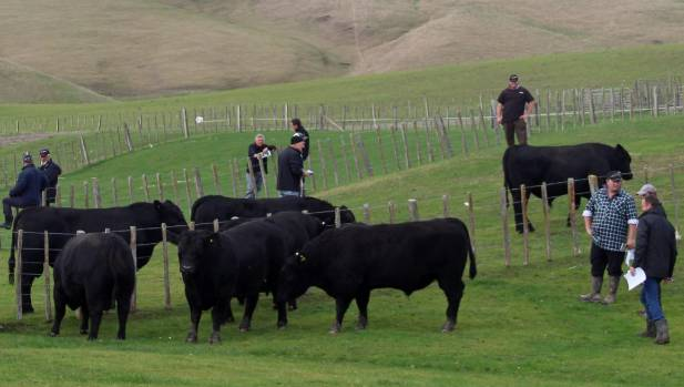 Bull buyers checking out Brookwood Angus bulls at Takapau during the stud's bull walk at the end of May.