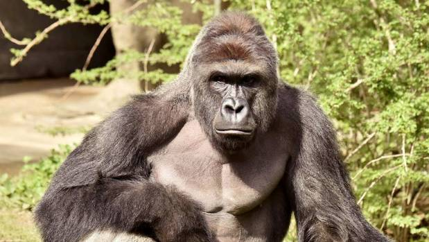 The shooting of Harambe at Cincinnati Zoo has provoked outrage.