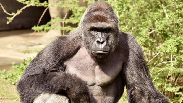 Harambe, a 17-year-old gorilla at the Cincinnati Zoo was shot dead after a child entered his enclosure.
