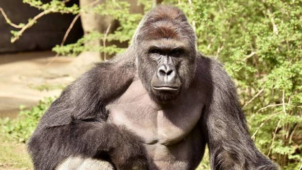 Harambe, a 17-year-old gorilla, became the subject of one of the most popular memes of 2016.