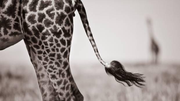 A giraffe tail, captured by David Lloyd