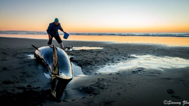 Two whales stranded at New Brighton beach on Sunday.