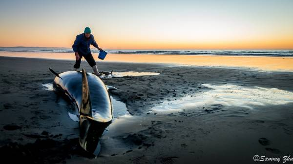 A Christchurch local works to save a stranded false killer whale early this morning at Waimari Beach