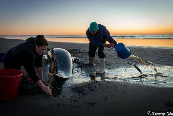 Two local people help a stranded false killer whale at Waimari Beach early Sunday morning.