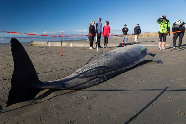 One of two whale stranded on Waimairi Beach on Sunday. This one sadly did not make it back to sea.