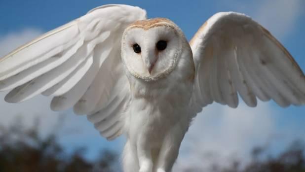 harry potter play removes live owls after bird flies coop stuff co nz