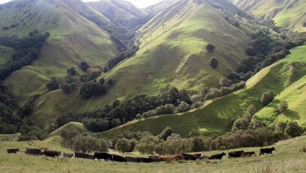 Stabiliser cows are moved along a ridge on Charlie Reynolds' Ormond Valley farm near Gisborne.