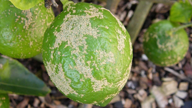 Common Citrus Tree Problems How To