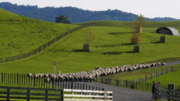 Sheep at the Alexander family farm, where Hobbiton is located.