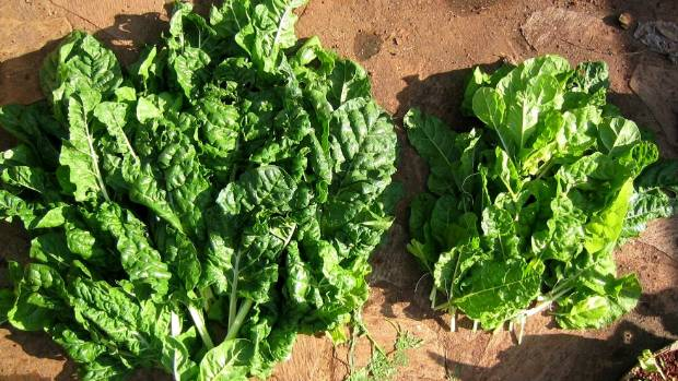 The results of a trial using urine as a fertiliser on spinach. The crop on the left was fed with urine, the crops on the ...
