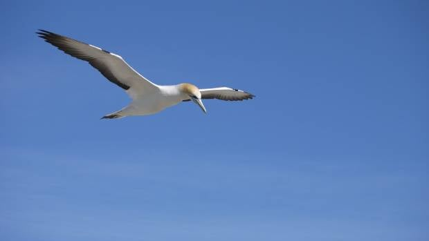 The gannet colony at farewell spit is an internationally renowned bird sanctuary.