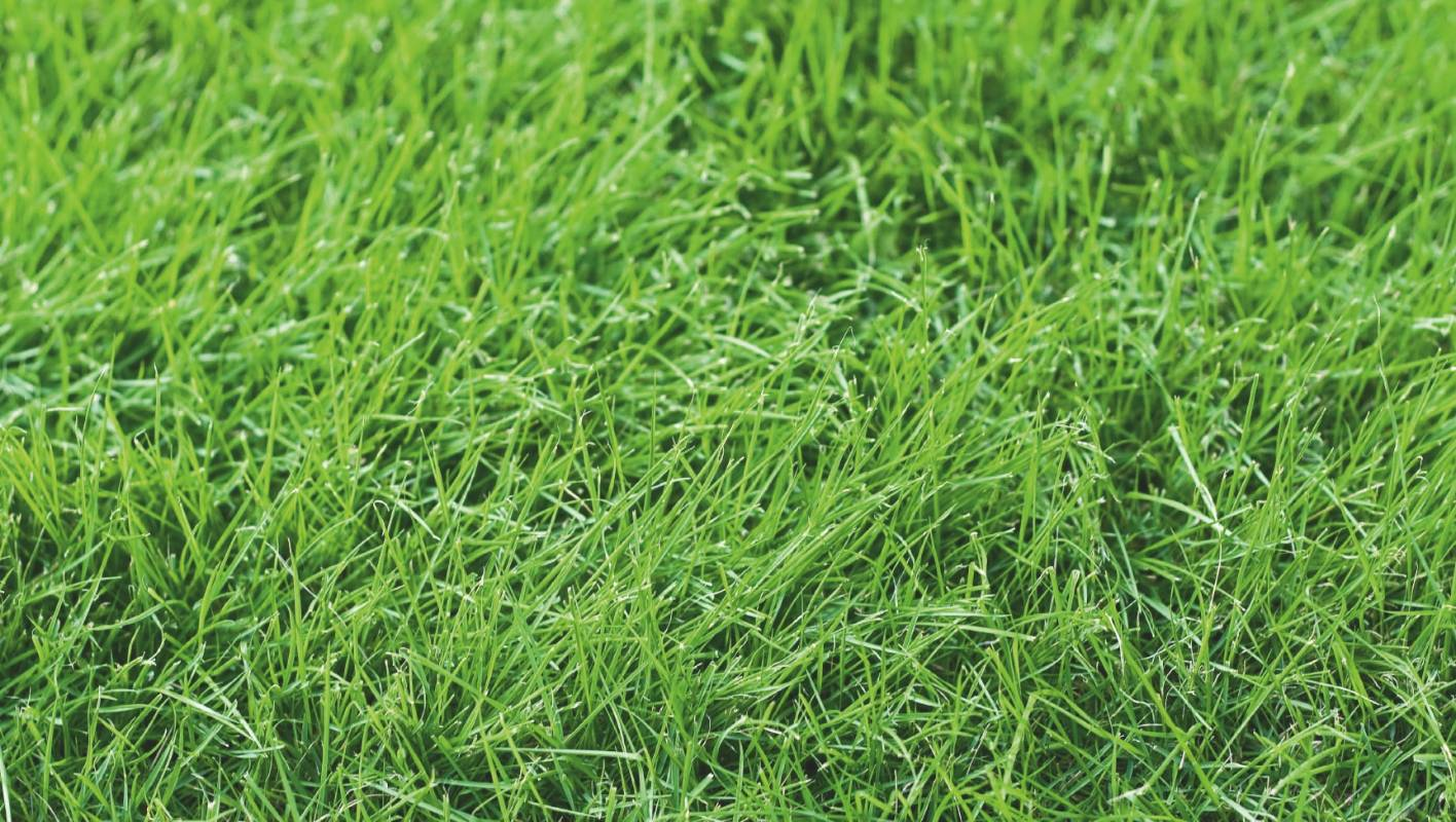Emerald Carpet Fescue Carpet Vidalondon