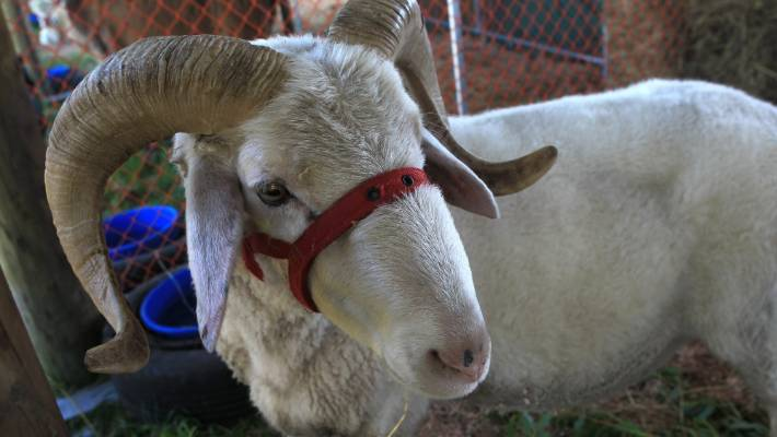 Saudi businessman a 'saviour' to sheep dairy industry   Stuff co nz