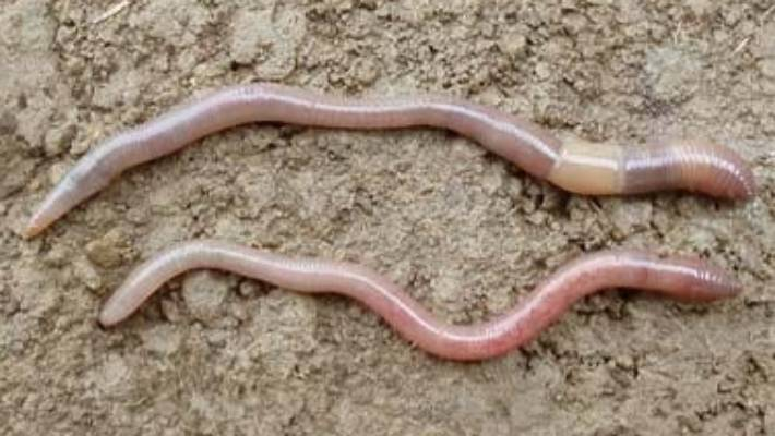All Worms Are Not Equal Here S How To Identify The Ones In Your