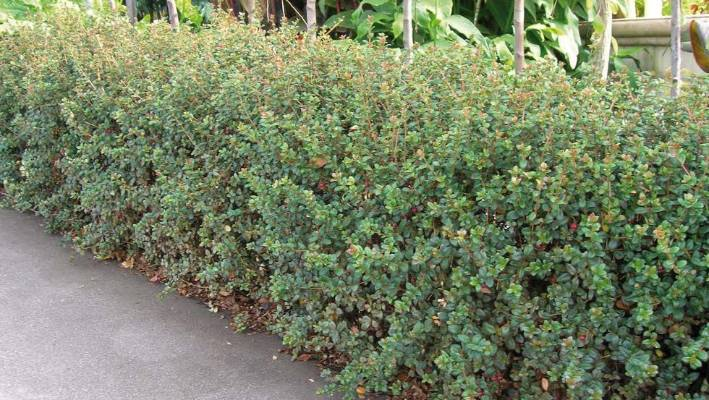 An Attractive Hedge Of Nz Cranberry Myrtus Ugni